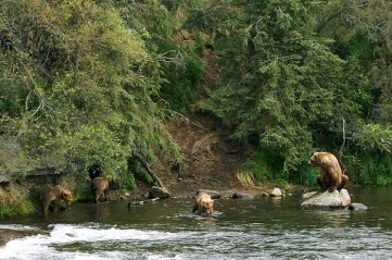 Семейство медведей в реке.