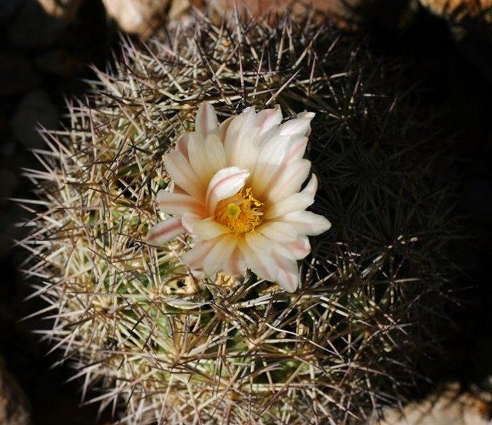 """Белый цветок кактуса """"игольная подушечка"""" (Pincushion cactus)."""