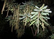 """Растение """"Кошачий хвост"""" (Акалифа). Ночной поход по джунглям."""