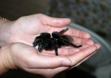 Самка тарантула - домашнее животное хозяина кемпинга Trek Stop :)