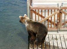 Плыть или не плыть? Сомневающийся медведь.