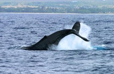 Китовый хвост. Круиз на катамаране в погоне за китами и дельфинами.