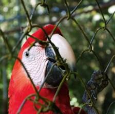 Свободу попугаям! Scarlet Macaw пытается выбраться из вольера в Belize Zoo.
