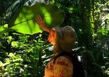 Гигантские листья геликоний в заповеднике Cockscomb basin Wildlife Sanctuary.