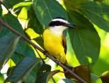 Большой Кискад (Pitangus sulphuratus) или Great Kiskadee - одна из самых распространенных птиц Центральной и Южной Америки.