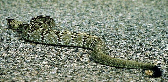 Гремучая змея Blacktail Rattlesnake.