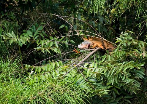 Самец зеленой игуаны на берегу Belize river.