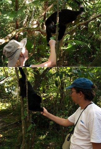 Кормежка диких обезьян-ревунов. Black Howler monkey (Alouatta caraya). Community Baboon Sanctuary.