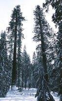 Секвойный лес с ёлочным подлеском.