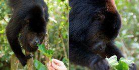 Главарь стаи обезьян-ревунов сосредоточенно рвет лапух. Community Baboon Sanctuary.