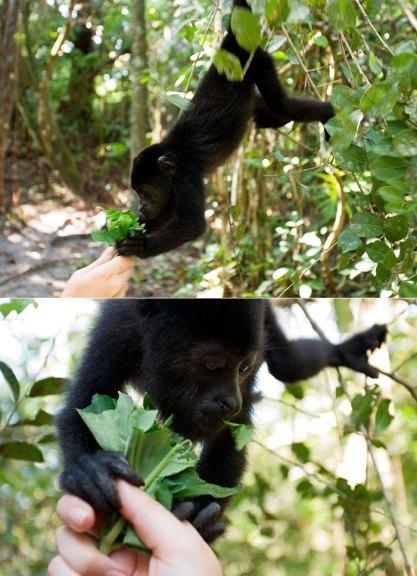 8-месячный малыш черных обезьян-ревунов. Community Baboon Sanctuary.