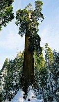 """Огромная секвойя """"The General Sherman tree"""". Окружность ствола у основания: 31 метр. Человечек внизу выглядит просто лилипутом."""