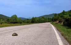 Греческая черепаха-спринтер (Testudo graeca) на сельской дороге. Vikos-Aoos National Park.