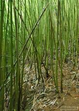 Бамбуковый лес. Тропа Na'ili'ili-haele.