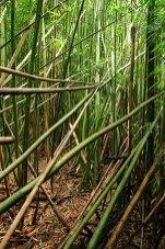 Почти непроходимые бамбуковые джунгли.