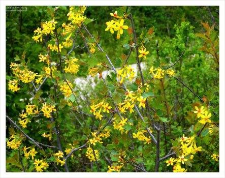 Куст Золотой смородины (лат. Ribes aureum).