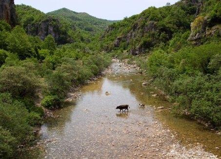 Собака-пастух гонит к стаду отставшую корову.