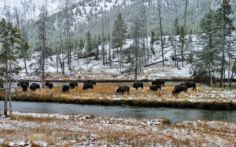 Группа бизонов на острове.