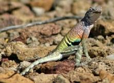 Разноцветная Безухая ящерица (Southwestern Earless Lizard) на тропе Grapevine Hills trail.