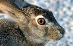 Моська чернохвостого зайца крупным планом.