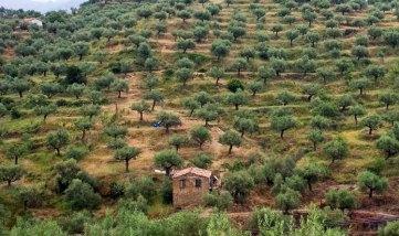 Оливковые сады Каламаты.