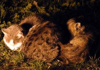Три колизейских кота в спячке.