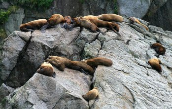 Колония сивучей (Steller sea lions).