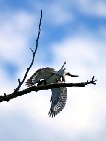 Зимородок с эффектно раскрытыми крыльями. Заповедник Crooked Tree.
