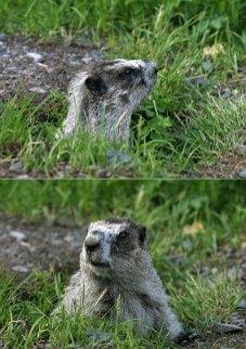 Мармот (Hoary marmot), выглядывающий из своей норы.