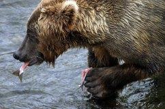 Самое вкусное в лососе - его хвост.
