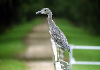 "Yellow-crowned night heron, прозванная нами ""бедная родственница"" за неказистый вид."