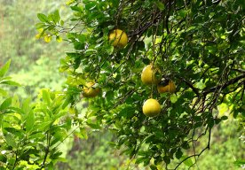 Мармеладное дерево с плодами (Aegle marmelos).