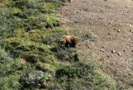 Медведь-гризли в поисках ягод.