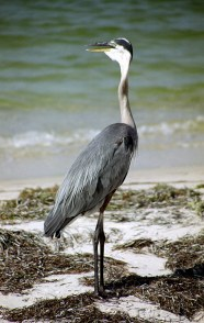 Большая голубая цапля (great blue heron) в ожидании добычи.