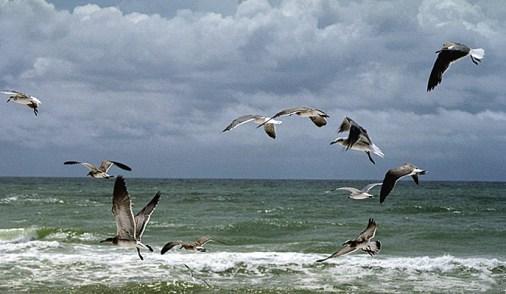 Стая смеющихся чаек (laughing gulls). Пенсакола, Флорида. Август, 2001 год.