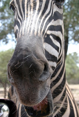 Веселая и задиристая зебра.