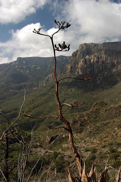 Сухая агава в Можжевеловом каньоне. Тропа Lost mine trail.