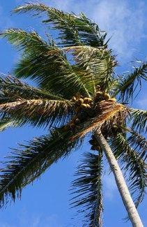 Кокосовая пальма на обочине.
