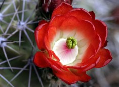 """Великолепный бутон горного кактуса """"Пурпурная чашка""""."""