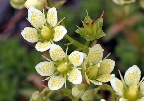 Полевые цветы-звездочки на склонах гор Kenai Mountains.
