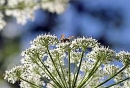 """Белые """"зонтики"""" (Angelica lucida - Wild Celery) и пчела в середине."""