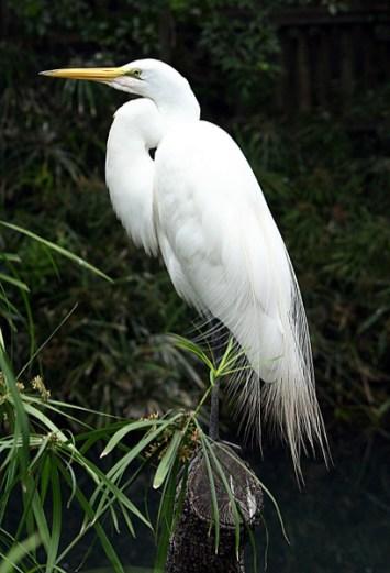 Snow egret в свадебном наряде.