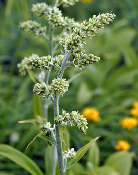 Чемерица или кукурузная лилия (False hellebore/Corn lily).