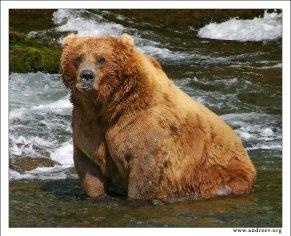 """""""Винни - Пух"""". Портрет 500-кг Винни-Пуха, он же альфа-самец и главарь на водопаде. Сидит по брюхо в воде, и переваривает те 100 кг лосося, что он уже успел сожрать за сегодня."""