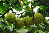 Гавайские апельсины (Ugly oranges).