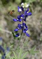 Пчела и техасский василек (Bluebonnet).
