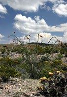 Растения пустыни. Вдоль дороги Ross Maxwell scenic drive.
