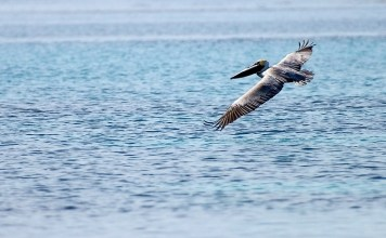 Коричневый пеликан на бреющем полете в метре от воды. По пути к атоллу Turneffe.