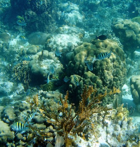 Малютки Абудефдуф, или Sergeant major - самый распространенный вид в коралловых рифах.
