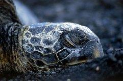 Спящая на черном пляже морская черепаха.